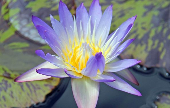 BLUE WATER LILY -Robert W Dunlap