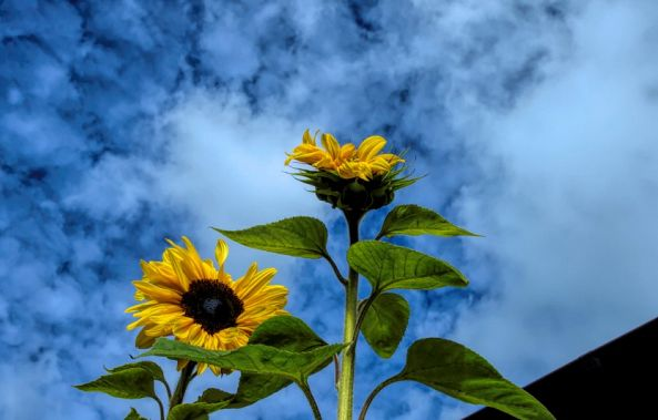 rooftop sunflowers-barry king